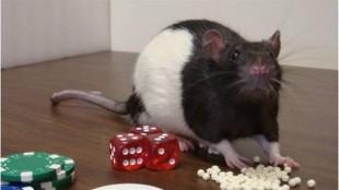 Un rat joueur. Photo : Radio-Canada