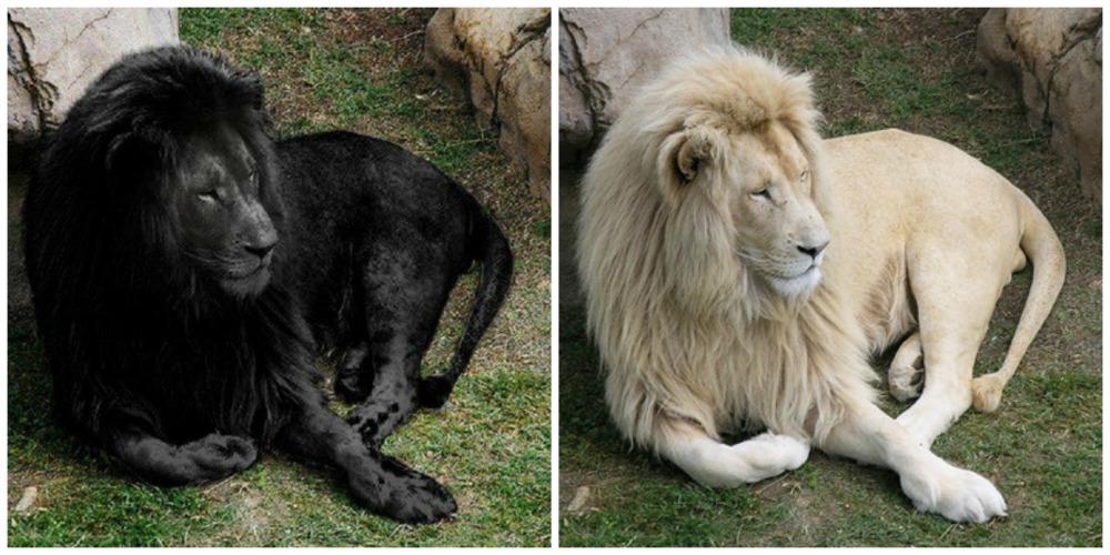 lion-noir-montage