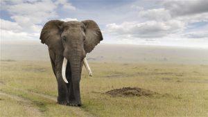 160711_jo15s_uneprem_elephant-ivoire_v2_sn635