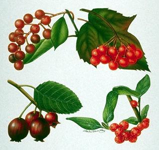De gauche à droite : (en haut) cerise de Virginie et viorne comestible (canneberge); (en bas) amélanche et shépherdie du Canada (œEncyclopédie du Canada /Claire Tremblay)