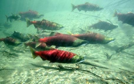 Des saumons de la rivière Skeena en Colombie-Britannique   Skeena Conservation Fund
