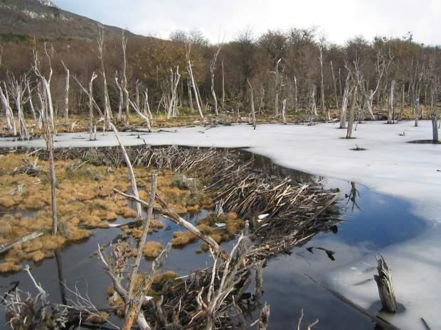 Un barrage fait par des castors canadiens dans le sud de l'Argentine. Photo Wikipédia