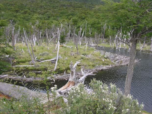 Des arbres décimés par des castors du Canada en Argentine. Photo Wikipédia