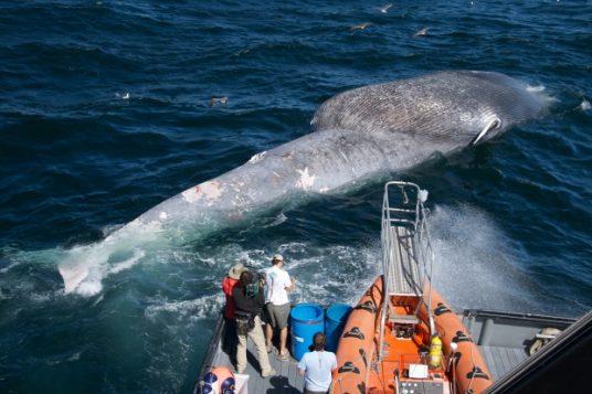 Des scientifiques examinent la carcasse d'une baleine bleue décédée des suites d'une collision avec un navire marchand . (Craig Hayslip/Oregon State University Marine Mammal Institute)