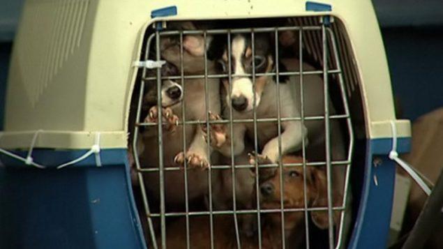 Les cas de cruautés sont souvent rapportés dans l'élevage des chiens au Canada.