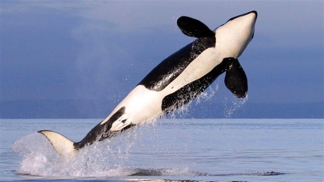 orca sautant hors de l'eau.