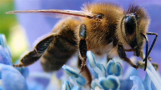 Les abeilles non seulement sont affectées par les pesticides, mais elles sont attirée par ceux-ci ce qui augmente encore plus les cas d'empoisonnement…Photo Credit: Wikipédia