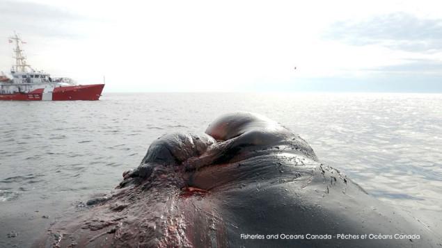 Rencontre entre une baleine noire et la Garde côtière.