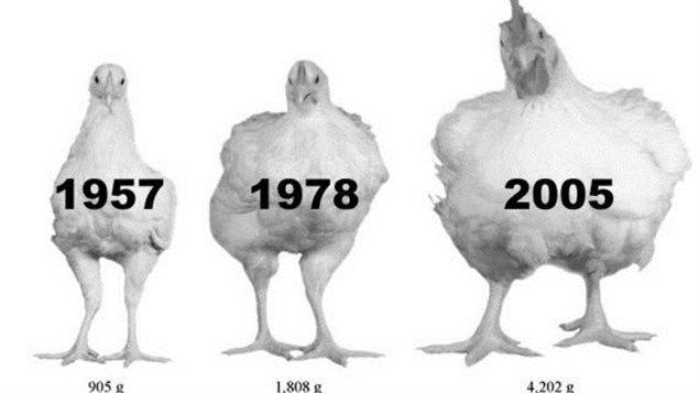 Les chercheurs ont analysé la croissance de 540 poulets de trois souches différentes : deux souches de 1957 et de 1978 qui proviennent du Contrôle des viandes de l'Université de l'Alberta et une souche commerciale de 2005. Photo Credit: Huffington Post