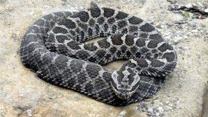 Aussi appelé Sistrurus catenatus, le serpent à sonnettes de Massassauga est un serpent venimeux originaire de l'Ontario.
