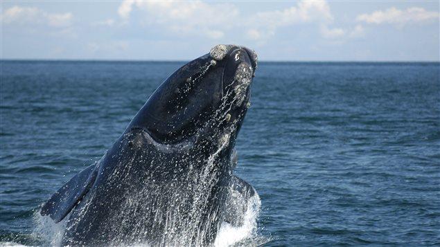 Une baleine noire de l'Atlantique Nord Photo Credit: PC / HO/Canadian Whale Institute
