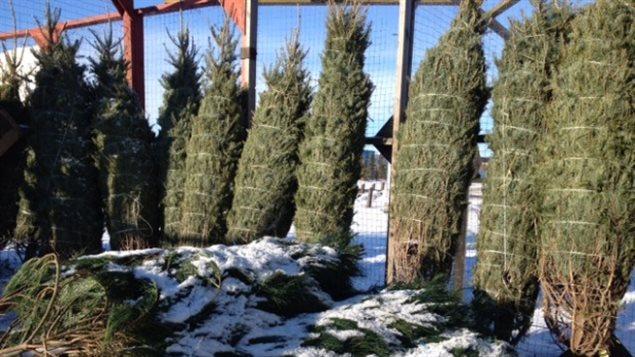 Des sapins de Noël au Canada. Photo Credit: Adrian Cheung
