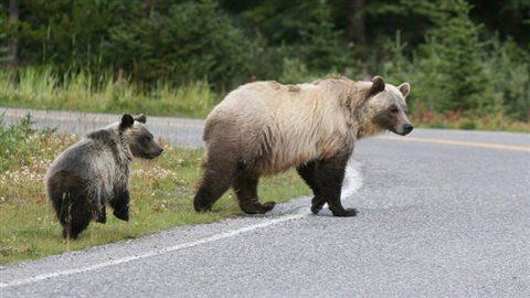 Les grizzlys sont une espèce en danger, et leur rencontre avec les humains est la plus grande menace de leur survie. © Gouvernement de l'Alberta