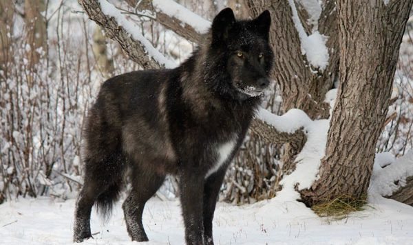 Moderne Le majestueux chien-loup … trop souvent abandonné en refuges OJ-58