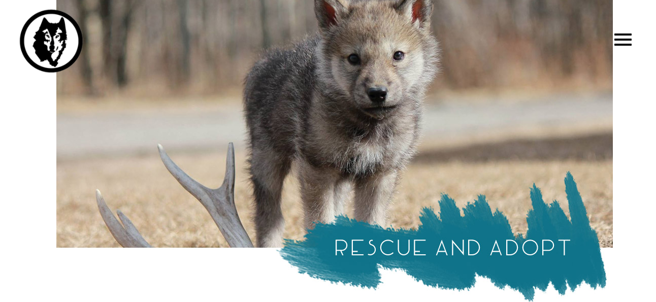 Le majestueux chien-loup … trop souvent abandonné en refuges animaliers au Canada 4