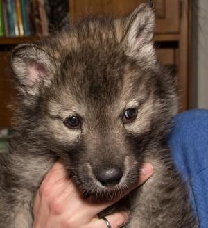 Le majestueux chien-loup … trop souvent abandonné en refuges animaliers au Canada 1