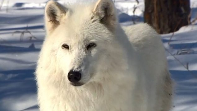 Le majestueux chien-loup … trop souvent abandonné en refuges animaliers au Canada 2