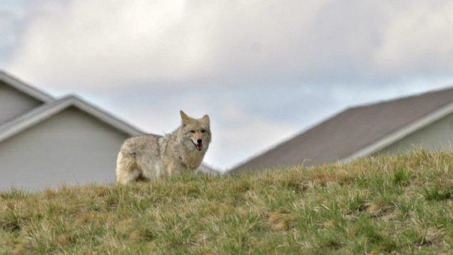Un coyote vu près de maisons d'un quartier de Calgary.