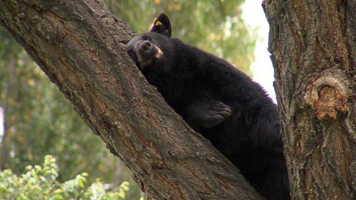 Démantèlement d'un réseau de contrebande de vésicules biliaires d'ours noir