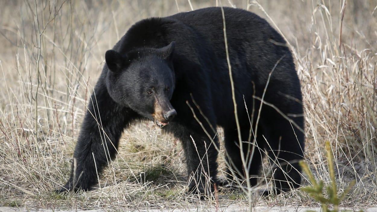 Un réseau de braconnage d'ours noirs démantelé au Canada