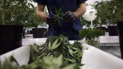 Des travailleurs de Canopy Growth nettoie des plants de marijuana à Smith Falls en Ontario.
