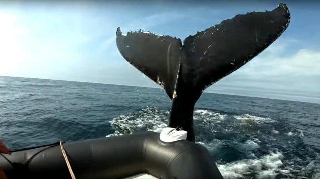 La queue d'une baleine à bosse heurte un pnuemtaique d'observation.