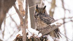 Un Grand-duc d'Amérique perché sur une branche en hiver.