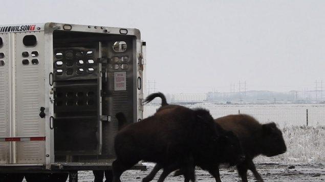 Après 1 siècle d'absence, le bison des plaines rentre au bercail, à Wanuskewin