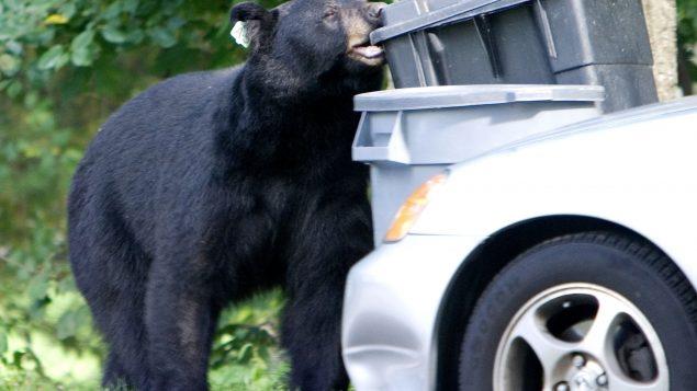 rencontre ours noir)