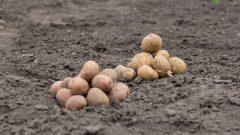 Le Manitoba a produit 2,4 milliards de livres de pomme de terre en 2020. L'Alberta en produit 2,3 milliards de livres suivie de l'Île-du-Prince-Édouard avec 2,1 milliards de livres - Photo : iStock / Kogytuk