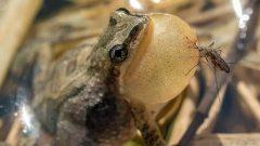 L'Habitat de la La rainette faux-grillon est menacé - Photo : Courtoisie / Snap / Patrick R. Bourgeois