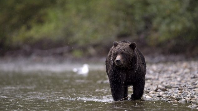 Selon Parcs Canada environ 60 à 80 grizzlys vivent sur un territoire chevauchant le parc national Banff, en 2020 - Sur la Photo, un grizzly dans le Parc prvincial Tweedsmuir en Colombie-Britannique - 2010 - La Presse Canadienne / Jonathan Hayward
