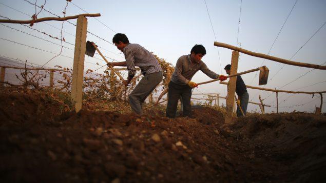 Des hommes de la minorité ouïghoure travaillent dans une ferme près de la ville de Lukqun dans le Xinjiang (Chine) - 30.10.2013 - Photo : Reuters / Carlos Barria