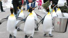 مسيرة البطريق الملكي تسمح لهذا الطائر بالمشي في الحديقة لمدّة 15 دقيقة - Photo : Calgary Zoo
