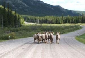 ماعز برّي يجبر سائقي السيارات على التوقف في منطقة Crowsnet  في الغرب الكندي.(CBC)