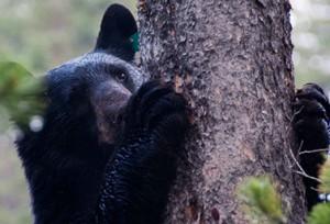 دب أسود يتسلق شجرة في حديقة Yoho العامة في الغرب الكندي (Alex Taylor/Parks Canada)