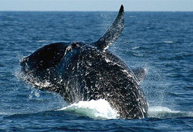 A whale in the North Atlantic. (Environment Canada)