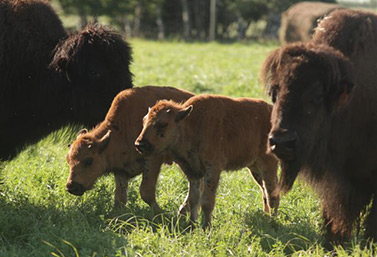 Un bisonte tiene una esperanza de vida de 18 a22 años, en libertad y de 35 a 40 años en cautiverio. (CBC News)