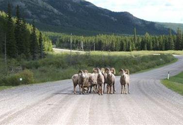 Las cabras y los carneros salvajes obligan, a menudo, a los automovilistas a parar en la región de Crowsnest, al oeste de Canadá. (CBC News)