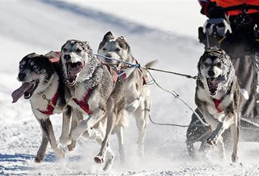 Un traîneau tiré par des chiens fringants s'élance au départ de la course de l'Internationale des chiens de traîneaux de Lanaudière, au Québec. (Radio-Canada)