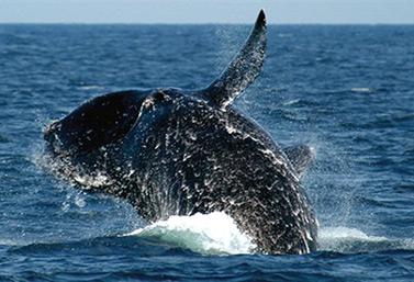 Une baleine franche de l'Atlantique Nord (Environnement Canada)