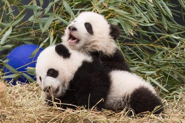 Calgary Zoo prepares panda pad for Chinese bears set to arrive next year