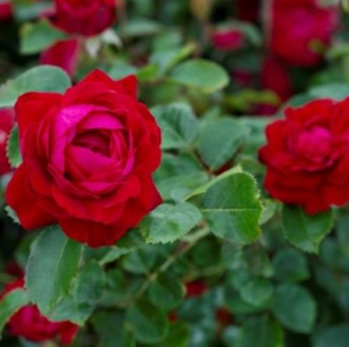 Canadian Shield roses for northern climates and Canada's 150th!