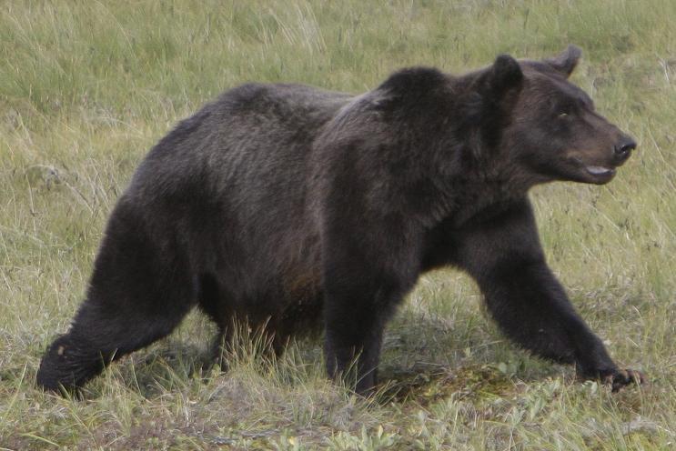 La ville de Whitehorse entend montrer à ses citoyens comment empêcher les ours d'entrer à l'intérieur des limites de la municipalité. Rick Bowmer/AP Photo