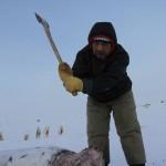 la chasse_aux phoques