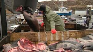 Un chasseur de phoques de retour au port. (CBC)
