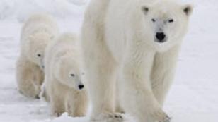 Selon un rapport publié récemment par un groupe spécialiste des ours blancs de l'Union internationale pour la conservation de la nature (UICN), les deux sous-populations les mieux étudiées d'ours blancs dans le monde, la population de l'ouest de la Baie d'Hudson au Canada et la population du sud de la Mer de Beaufort (États-Unis/Canada), ont connu un déclin respectivement de 22 % et de 17 % pendant les deux dernières décennies. (La Presse Canadienne)