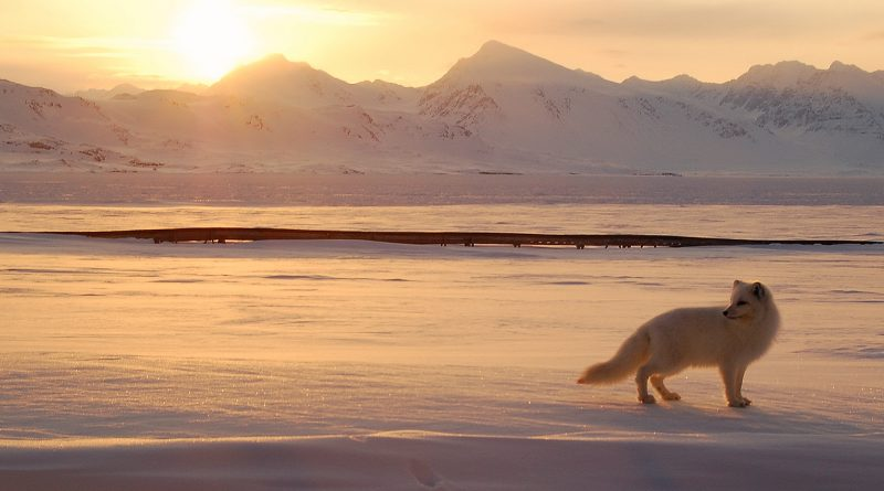 An Arctic fox hunts in the Norwegian Arctic. (Gregory Tervel, AFP)