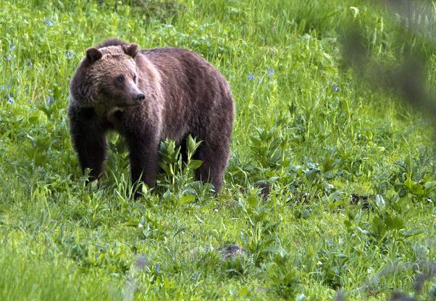 Un ours grizzly. (Jim Urquhart / AP Photo)