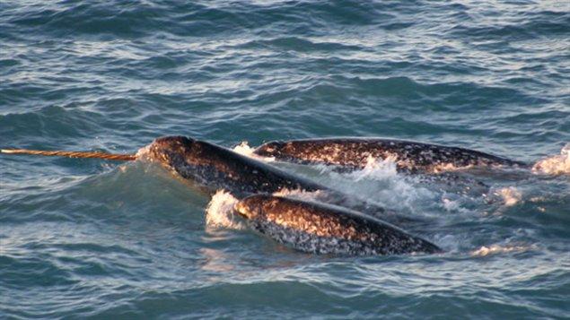 Des narvals, scène typique du nord de la Baie d'Hudson. (RCI)